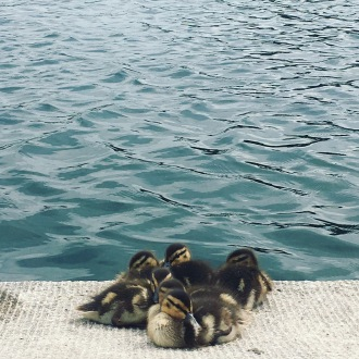 The cutest baby ducks in a pond in front of the Capitol Building in Washington, D.C.