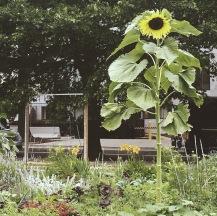 Sunflower garden in Washington, D.C.