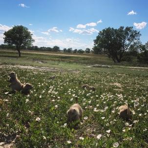Prairie pups.